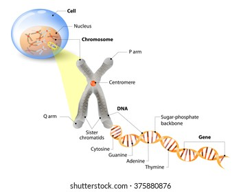 Cell, Chromosome, DNA and gene. The DNA molecule is a double helix. A gene is a length of DNA that codes for a specific protein. Genome Study