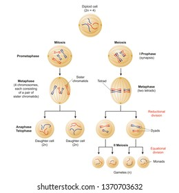 Cells divide by two mechanisms called mitosis and meiosis