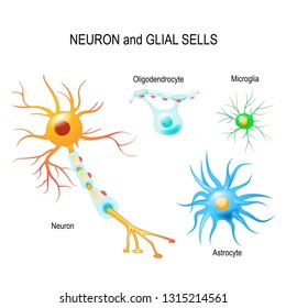 Cells of human's brain. Neuron and glial cells (Microglia, astrocyte and oligodendrocyte). diagram for educational, medical, biological and science use