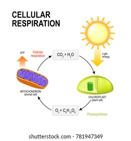 Cellular respiration. vector diagram presentation of the processes of aerobic cellular respiration. Connecting Cellular Respiration and Photosynthesis