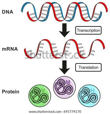 Central Dogma Gene Expression Infographic Diagram Stock Illustration