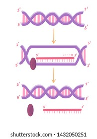 central dogma,transcription, DNA to RNA, messenger RNA, mRNA