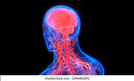 Central Organ of Human Nervous System Brain Anatomy. 3D
