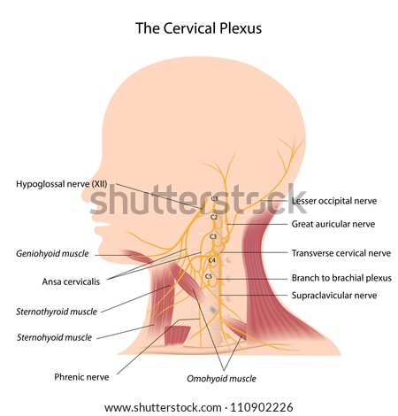 Cervical Plexus Stock Illustration 110902226 - Shutterstock