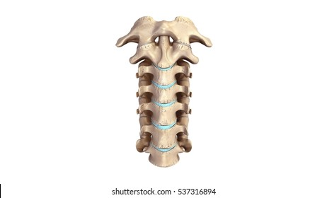 Cervical spine anterior view 3d illustration