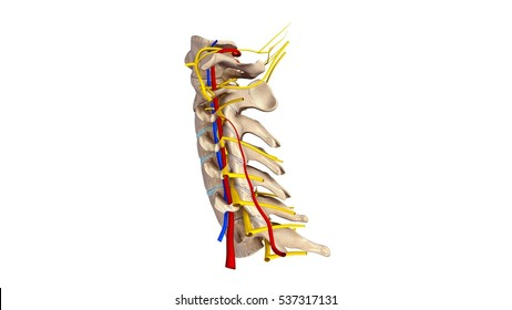 Cervical spine with blood vessels and nerves anterior view 3d illustration