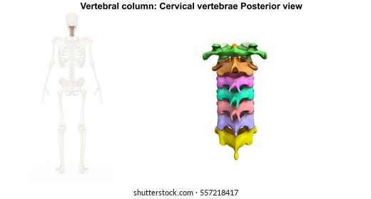 Cervical Vertebrae Images Stock Photos Vectors Shutterstock