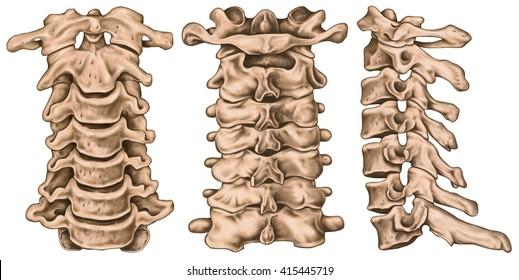 Cervical Spine Structure Vertebral Bones Cervical Stock Illustration ...