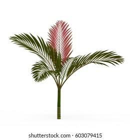 Chambeyronia macrocarpa isolated on white background. 3D Rendering, Illustration.