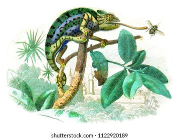 Chameleon, vintage engraved illustration. Natural History from Lacepede.