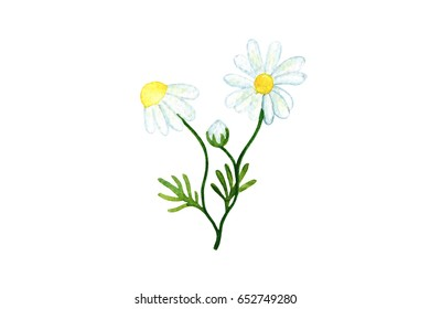 Chamomile flower watercolor illustration on white background. Medical herb botanical drawing. Chamomile watercolour painting. Summer flower with white petals. Blooming flower. Herbal tea ingredient