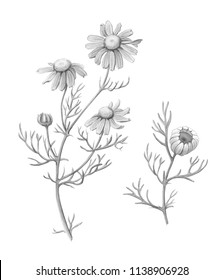 Chamomile Flowers and Leaves Pencil Illustration Isolated on White