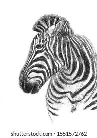 Charcoal pencil drawing head of zebra