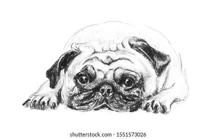 Charcoal pencil drawing sad pug dog is laying