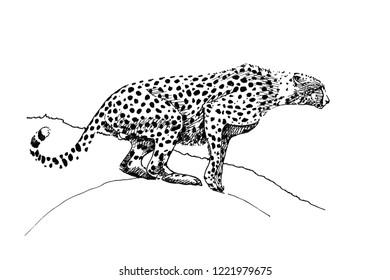 Cheetah hand drawn illustrations (originals, no tracing)
