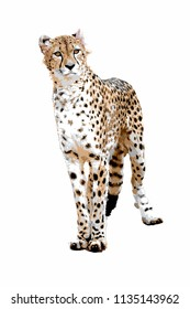 A cheetah standing from the front on a white background