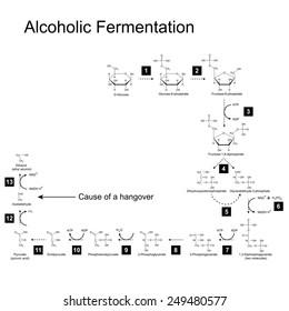 Chemical scheme of alcoholic fermentation metabolic pathway, 2d illustration on white background, raster