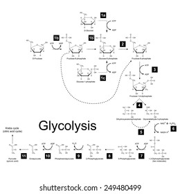 Chemical scheme of glycolysis metabolic pathway, 2d raster on white background