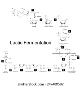 Chemical scheme of lactic fermentation metabolic pathway, 2d illustration on white background, raster