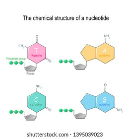 The chemical structure of a nucleotide. four main bases found in DNA: adenine, cytosine, guanine, and thymine. Phosphate group and Ribose. diagram for educational, medical, biological, and science use