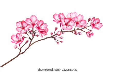 Cherry blossom branch isolated on white background. Watercolor hand drawn illustration of sakura flowers.
