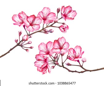 Cherry blossom branches isolated on white background. Watercolor hand drawn illustration of sakura flowers.