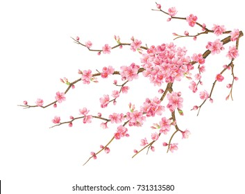 The cherry blossoms are blooming.Watercolor Hand drawn on white background.Clipping path included. Illustration for various tasks such as Christmas,new year Festival or different print jobs.