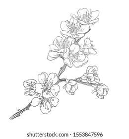 cherry / Sakura flower, hand drawing
