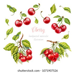 Cherry. Watercolor botanical illustration.