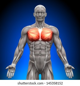 Chest Pectoralis Major and Minor - Anatomy Muscles