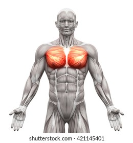 Chest Pectoralis Major and Minor - Anatomy Muscles isolated on white - 3D illustration