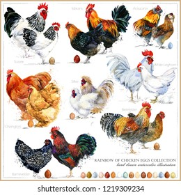 Chicken breed collection. Poultry farming. domestic farm birds hand drawn watercolor illustration. Hen. Rooster.