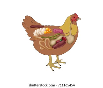 Chicken internal organs images stock photos vectors shutterstock chicken with internal organs hen ccuart Choice Image