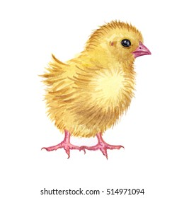 Chicken, watercolor drawing on a white background.