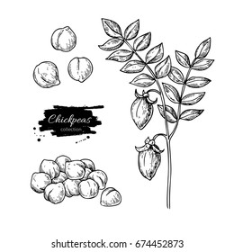 Chickpeas hand drawn illustration. Isolated Vegetable engraved style object. Detailed vegetarian food drawing. Farm market product. Great for menu, label, icon