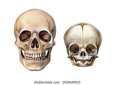 Child and adult skull anatomy, comparison of proportions, development and change of bones, isolated image on white background