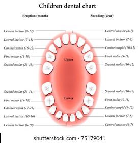 Children Teeth anatomy. Shows eruption and shedding time. Dental titles.