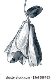 Chilean bell Flower, Copihue. Vintage botanical drawing