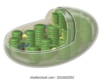 Chloroplast, plant cell organelle