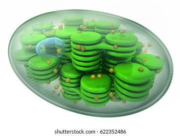Chloroplast, plant cell organelle. 3d image isolated on white.