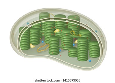 Chloroplast, structure within the cells of plants and green algae
