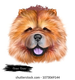 Chow Chow dog breed isolated on white background digital art illustration. Cute pet hand drawn portrait. Graphic clipart design realistic animal