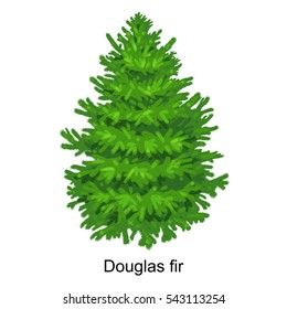 Christmas tree like douglas fir for New year celebration without holiday decoration, evergreen xmas plants