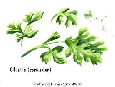 Cilantro coriander set. Watercolor hand drawn illustration, isolated on white background