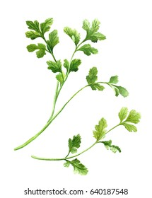 cilantro, coriander twig. Watercolor isolated illustration on white background for cookbook, recipe, menu design