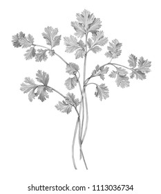 Cilantro Pencil Drawing Isolated on White