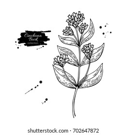 Cinchona quinine drawing. Isolated medical flower and leaves. Herbal engraved style illustration. Detailed botanical sketch for tea, organic cosmetic, medicine, aromatherapy