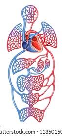 Circulation of blood in the human body, descriptive scheme