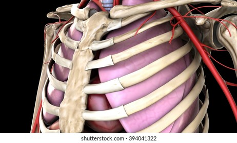 circulatory and respiratory systems, ribcage zoom
