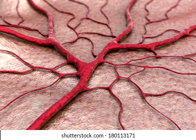 circulatory system, Capillary, blood vessel